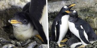 Λεσβίες πιγκουίνοι